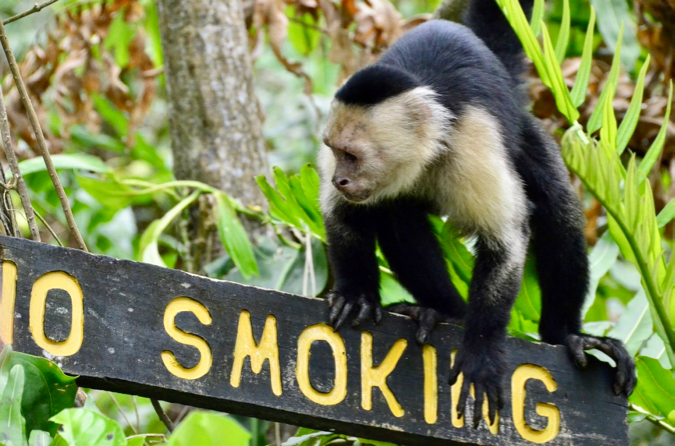 A monkey climbing on a wooden no smoking sign in in Puerto Veijo, Costa Rica