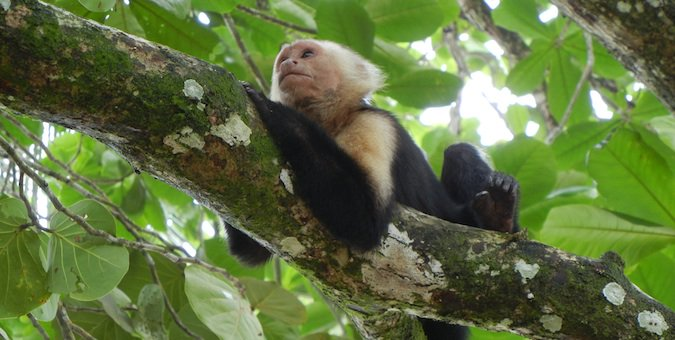 A monkey laying in a tree in Costa Rica