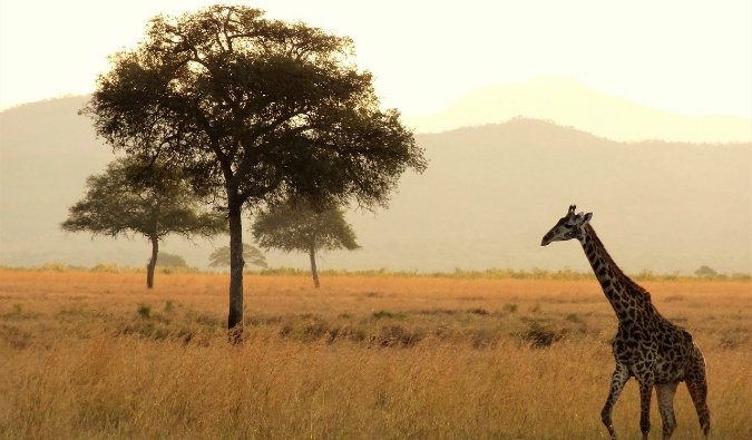 A lone giraffe walking along the savannah in East Africa at sunset