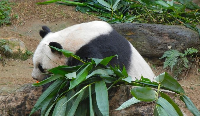 giant panda in hong kong