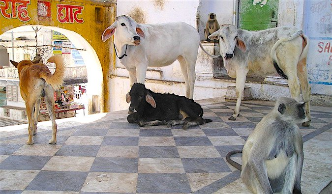 All different kinds of animals relaxing in the shade in India