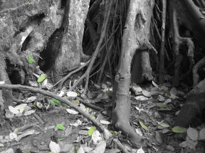 A black and white photo of tree roots in Khao Yai National Park, Thailand