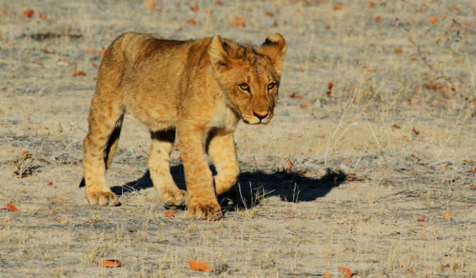 A small lion cub spotted while on safari in East Africa