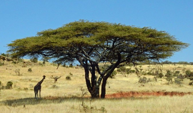 A lone giraffee seen relaxing under a tall tree on safari